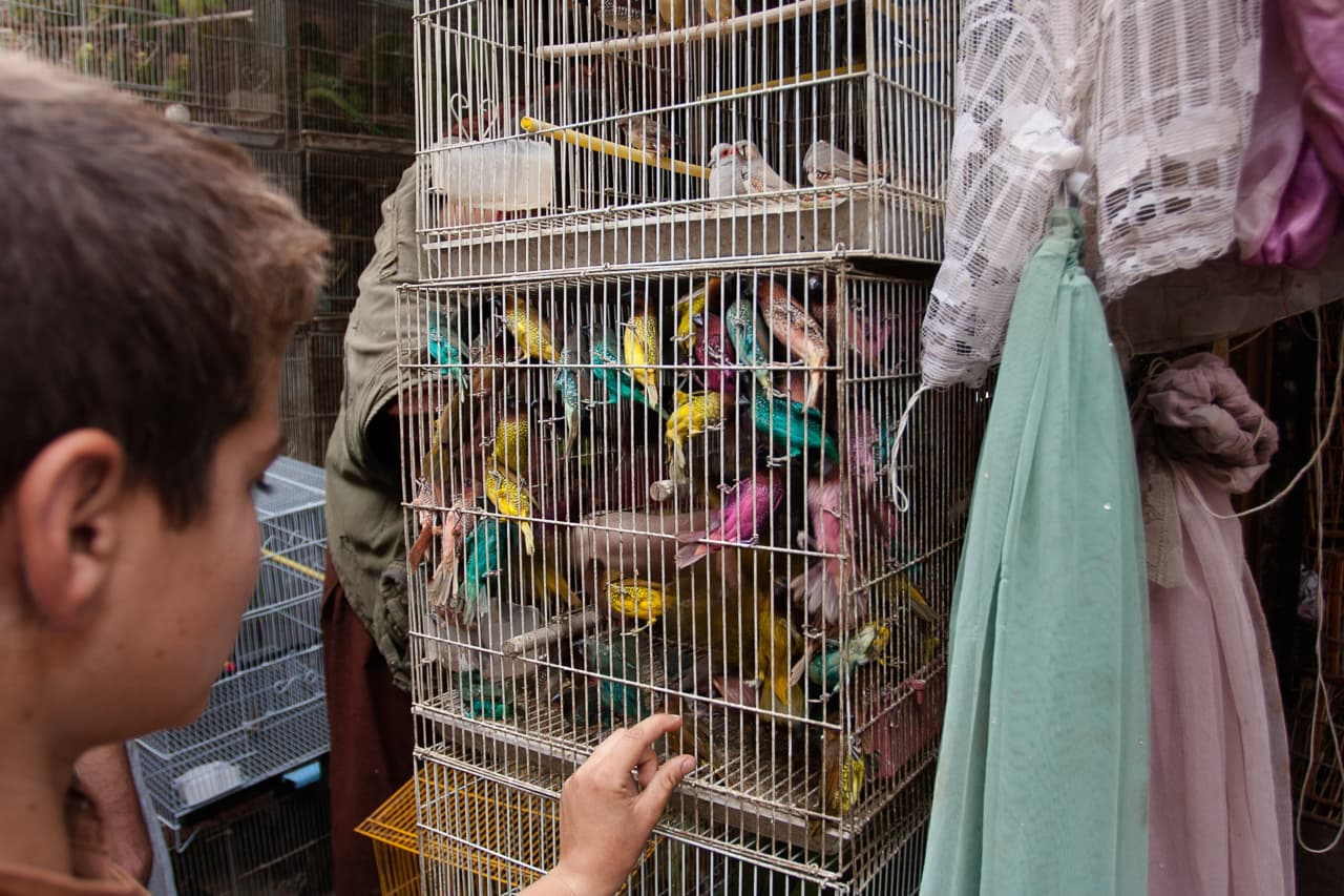 A boy looking at a cage with many colourful parakeets